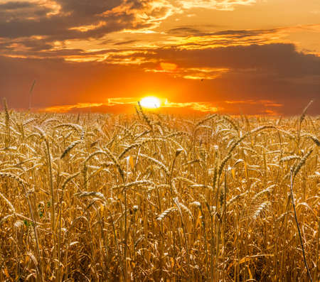 yields: Field of ripe wheat, stems and stalks closeup against the backdrop of the setting sun Stock Photo