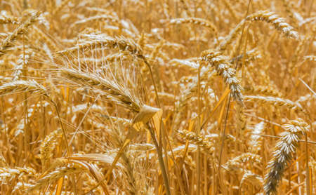 yields: Spikelets, stems and leaves of ripe wheat in the field closeup Stock Photo