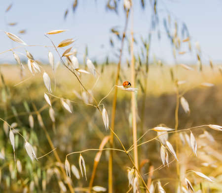 yields: Stem of ripe oat with ladybug on the spikelet in the field closeup Stock Photo