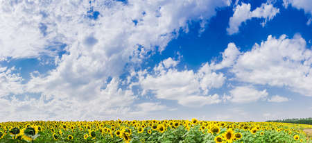 cielo azul: Blue sky with cumulus clouds over a field of sunflowers in summer day