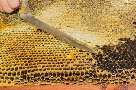 extracting: Honeycombs filled with honey. Uncapping the cells of honeycombs by hand using an uncapping knife before extracting the honey
