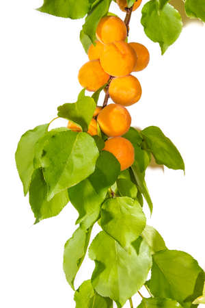 sappy: Branch with ripe apricots and leaves on a light background. Isolation.