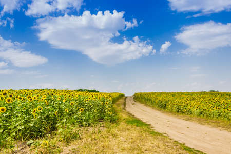 unpaved road: Field of sunflowers and dirt road against the sky with clouds.