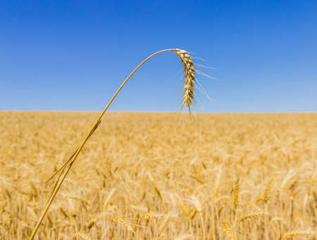yields: Spikelet of ripe wheat closeup on a background of wheat field and sky Stock Photo