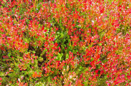 bilberries: Low-growing shrubs of bilberries with autumnal red leaves and berries on a hillside closeup