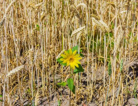 Small blooming sunflower among ripening wheat field