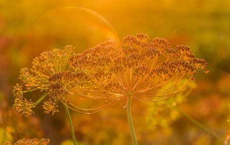 umbel: Stems and umbel inflorescence with seeds of dill at sunset