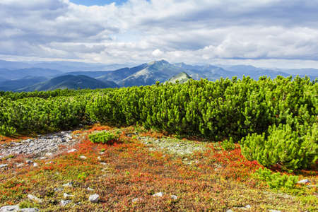 bilberries: Mountain autumn landscape with low-growing shrubs of bilberries with red leaves and thickets of mountain pine in the foreground, mountain ranges and peaks and sky with clouds