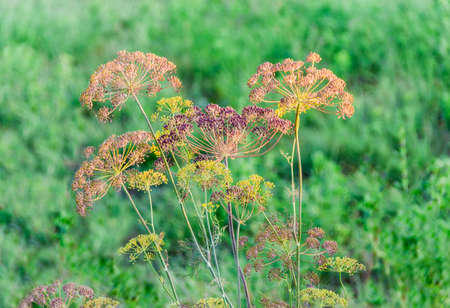 umbel: Stems and umbel inflorescence with seeds of dill on green blurred background