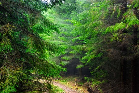 hiking trail: Hiking trail in the Carpathian spruce forest in the rain