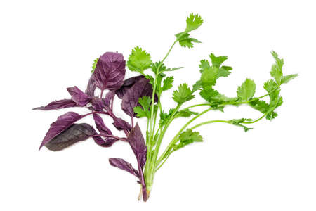 greenness: Branches of fresh purple basil and coriander on a light background. Isolation.
