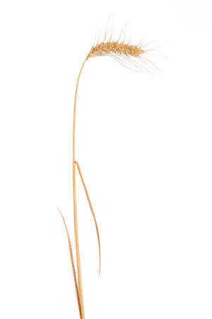 Stalk of ripe wheat with spikelet and leaves on a light . Isolation.
