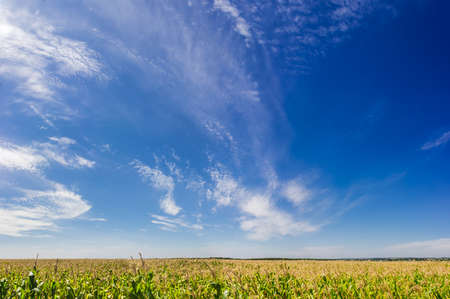 cirrus: Sky with cirrus fibratus clouds and cirrus floccus clouds over a field of ripening corn in summer day Stock Photo