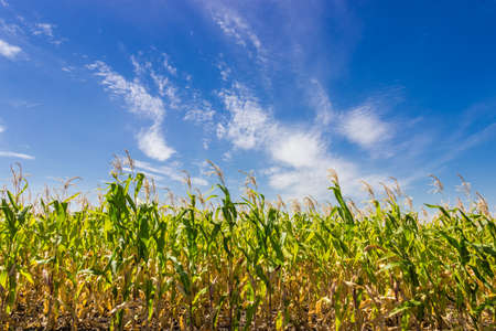 floccus: Sky with cirrus fibratus clouds and cirrus floccus clouds over a field of ripening corn in summer day Stock Photo