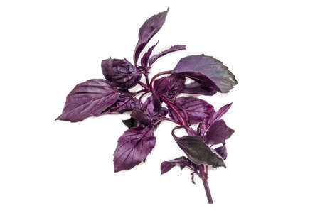 isolation: Branch of fresh purple basil on a light background. Isolation. Stock Photo