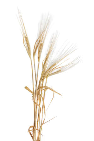 Several stalks of ripe barley with spikelet and leaves on a light background. Isolation.