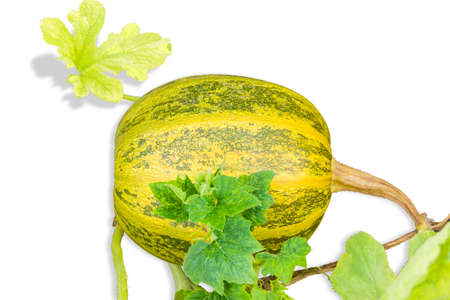 haulm: Yellow and green pumpkin with haulm and leaves on a light background. Isolation.