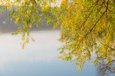 yellowing: Willow branches with yellowing leaves over the water early autumn morning