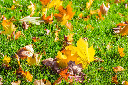garden lawn: Lawn with fallen yellow, orange, brown leaves among the grass in autumn sunny day