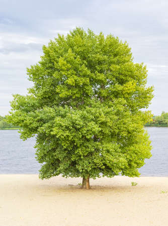 cottonwood  tree: Solitary cottonwood on the sandy bank of the river a cloudy day in early autumn