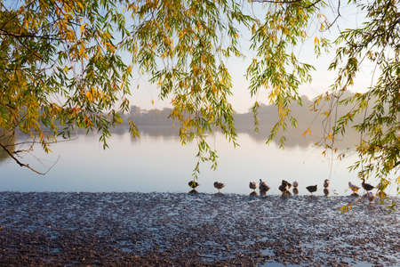 yellowing: Willow branches with yellowing leaves near a pond with geese autumn early morning