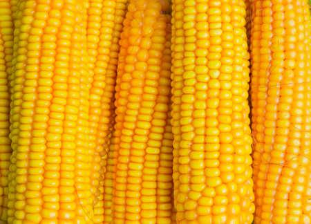 yellow corn: Several ears of fully ripe corn closeup