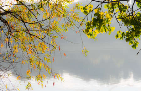 yellowing: Branches of poplar and willow branches with yellowing leaves over a water autumn early morning
