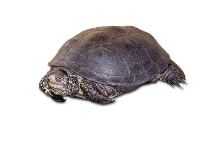 plastron: European pond turtle on a light background. Isolation. Stock Photo