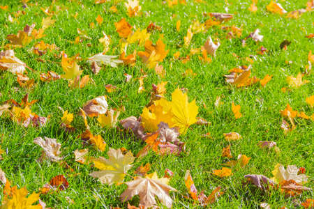 Lawn with fallen yellow, orange, brown leaves among the grass in autumn sunny day