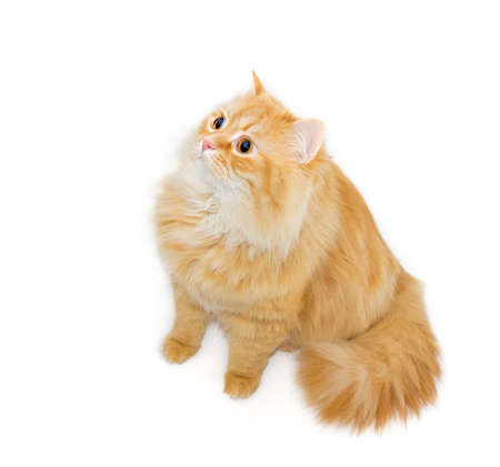 attentiveness: Sitting red cat who is intently looking up on a light background. Isolation.