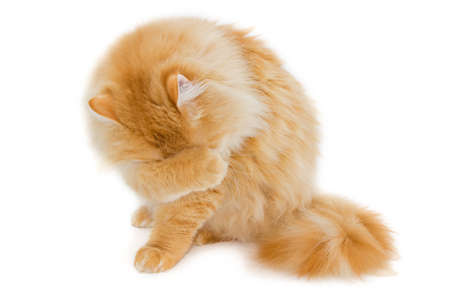mewing: Sitting furry red cat, covering the face with his paw. Isolation on a light background.