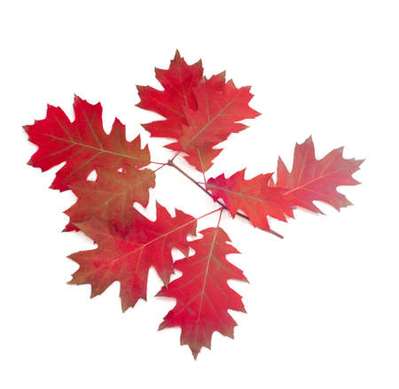 red america: Branch of autumn red oak with red leaves on a light background. Stock Photo