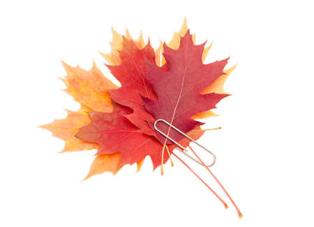 fastened: Several red, yellow and orange autumn leaves of maple and oak, fastened together by a large paper clip on a light background. Stock Photo