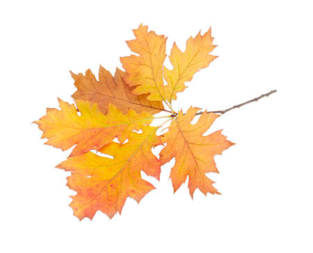 'leaf fall': Branch of autumn oak with orange and yellow leaves on a light background. Stock Photo