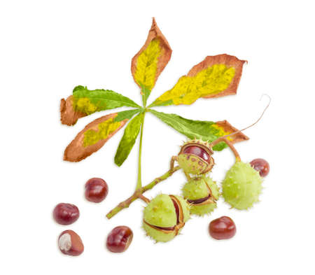 horse chestnut seed: Branch with a withered leaf and ripe horse chestnuts in its green cracked prickly shell and several cleared from husk chestnuts separately on a light background. Isolation.
