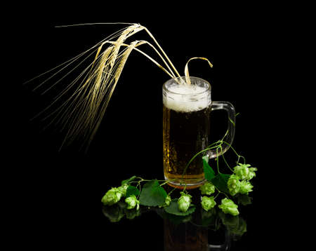 Lager beer with foam in beer glassware, branch of hops with leaves and cones, several ears of barley on a dark background with reflection. Isolation.