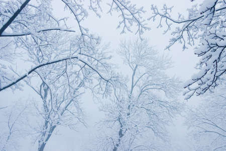 eventide: Branches of trees under the snow in the fog during a heavy snowfall.  Background. Stock Photo