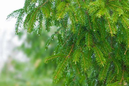 evergreen trees: Branches fir with drops of a water in rainy weather closeup Stock Photo