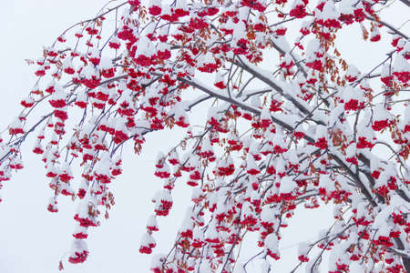 european rowan: Branches with bunches of ripe berries rowan covered with snow on a background of a cloudy sky