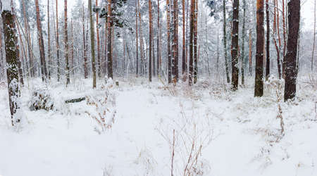 trailway: Fragment of winter pine forest during a snowfall Stock Photo