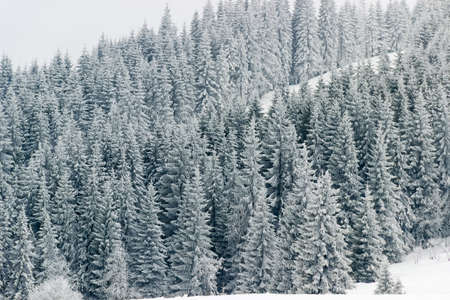 picea: Firs covered with hoarfrost on a mountain slope in winter cloudy day. Carpathians. Background