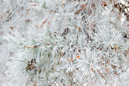 Pine branch with needles covered hoarfrost closeup. Background.