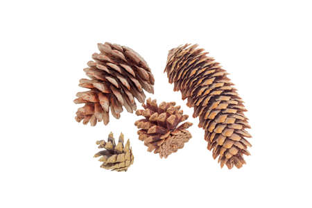 siberian pine: Several mature conifer cones of various coniferous trees on a light background. Isolation