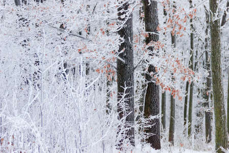 Fragment of winter forest with oak trees covered with frost