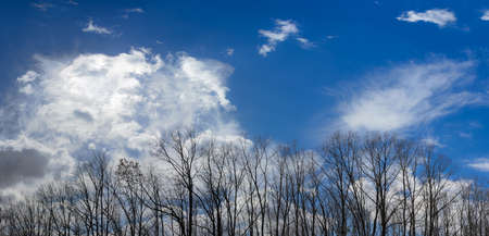 cirrus clouds: Sky with cirrus clouds and cumulus clouds with group of deciduous trees without a foliage in the foreground in early spring