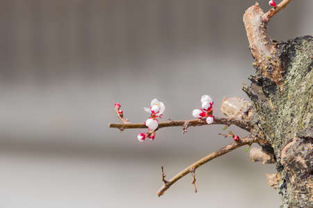 apricot tree: Fragment of old apricot tree with young sprouts with buds and flowers on a blurred background