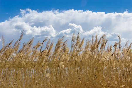 reed stem: Reeds with panicles around a lake on the background of sky with clouds in spring sunny day.