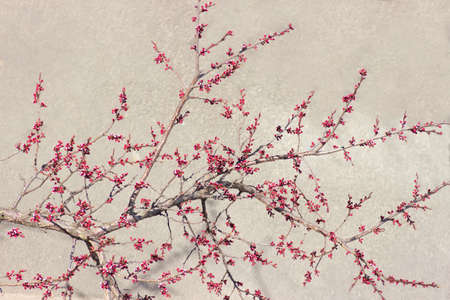 effloresce: Branch of a apricot with buds and opening flowers at the beginning of flowering on the gray blurry background