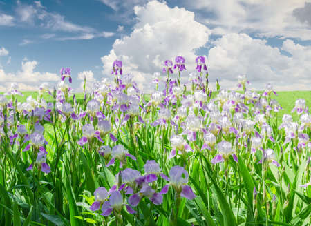 purple irises: Group of blooming purple irises in the background of the lawn with grass and sky with clouds on a sunny day