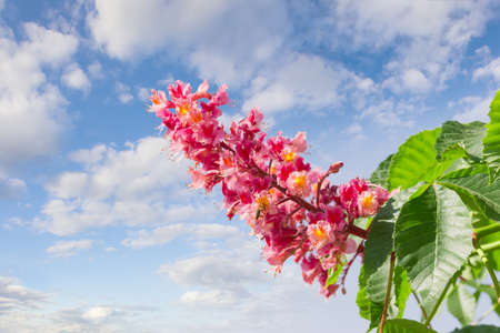 buckeye tree: Panicle with flowers of red horse-chestnut against the sky with clouds Stock Photo